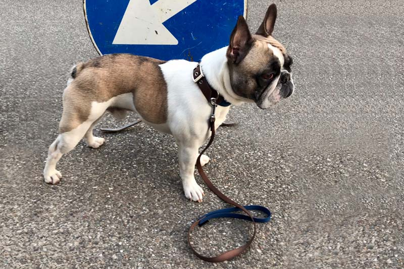 Dog Leashes - Basic Leash